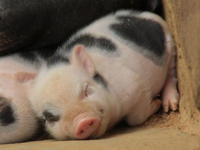 piglet bacon blt pork pig vegan
